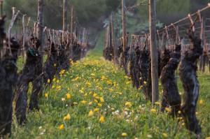 tulipes Mittelbergheim 2014-03-0003